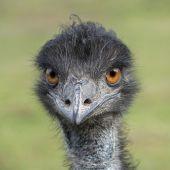 Emu_2