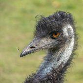 Emu_und_die_Fliege