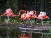 Rote_Flamingos