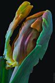Papageientulpe-2